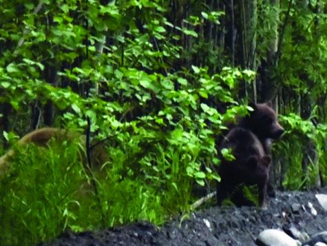 Eine Bärenmutter mit ihren zwei Jungen auf dem Weg zum Art Center Kamtschatka